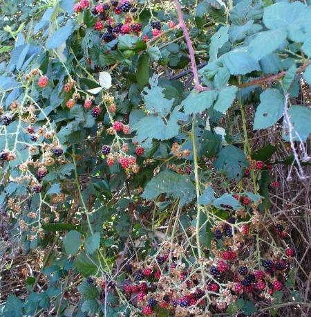 blackberries-ARP-upper-trail-20190831-029