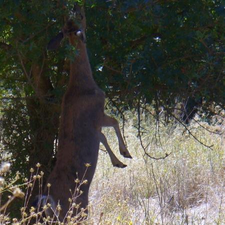 deer-ARP-upper-trail-20190831-088