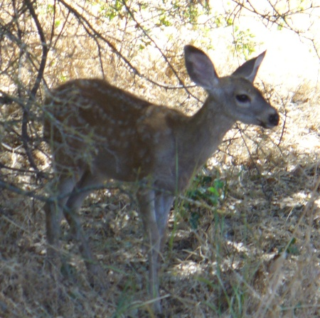 deer-ARP-upper-trail-20190831-100