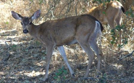 deer-ARP-upper-trail-20190831-109