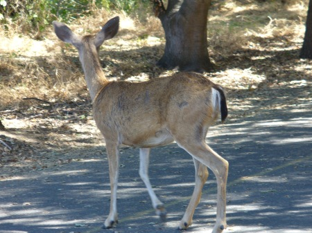 deer-ARP-upper-trail-20190831-118
