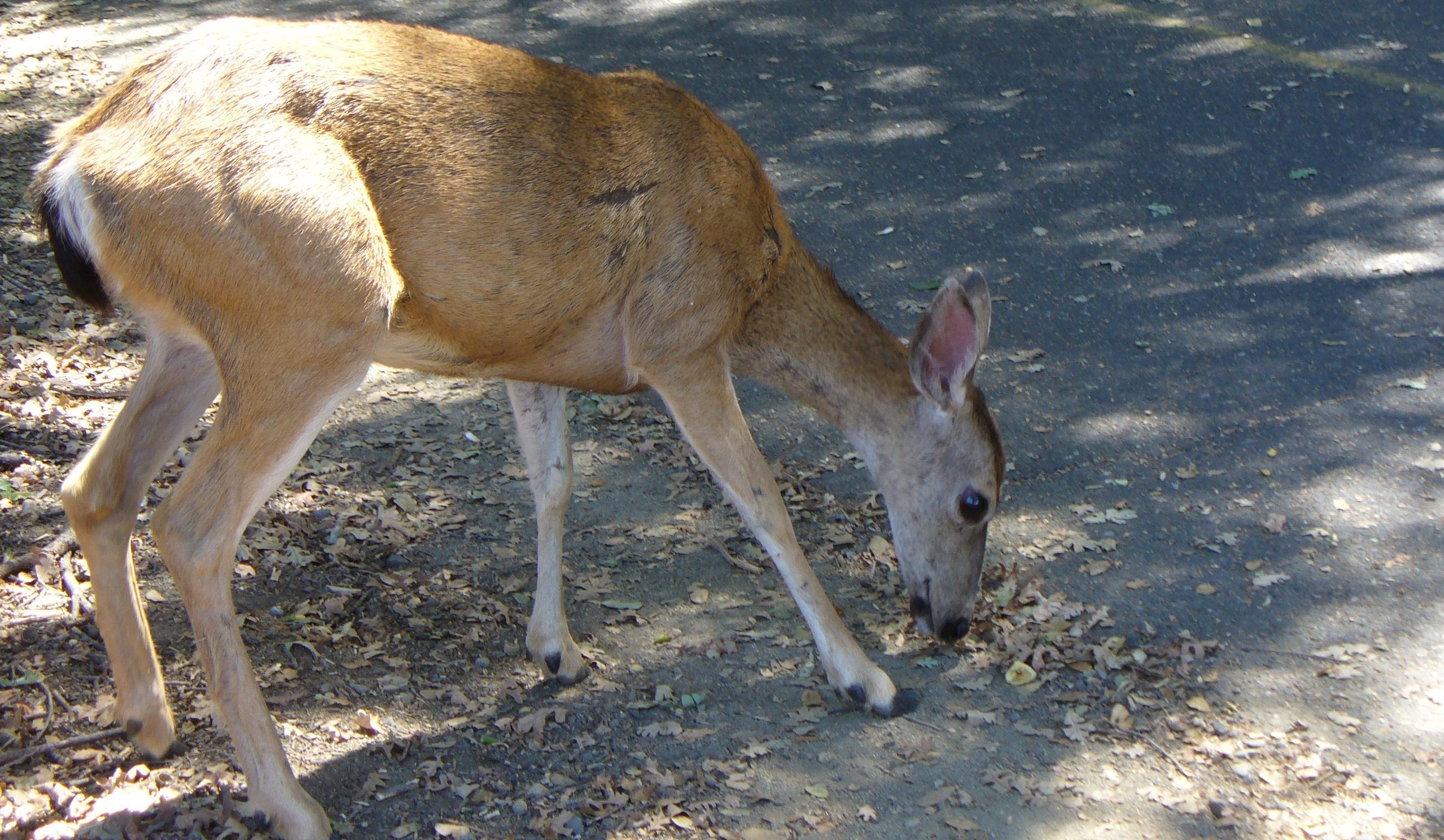 deer-ARP-upper-trail-20190831-127