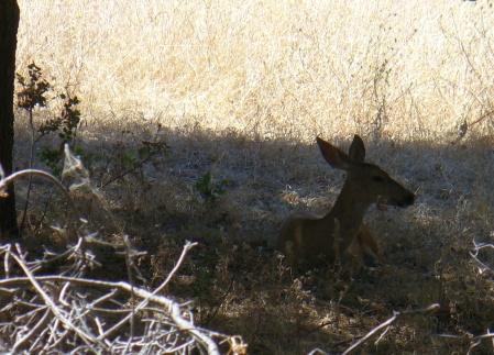 deer-in-ARP-20190803-9