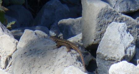 lizard-at-washout-fix-ARP-trail-20190831-136
