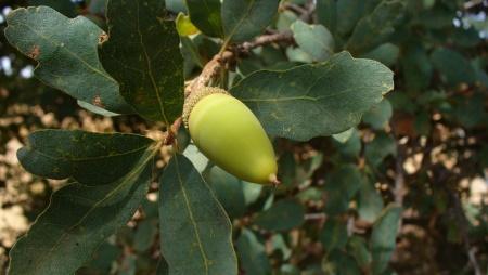 blue_oak-acorn-ARP-20190907-45