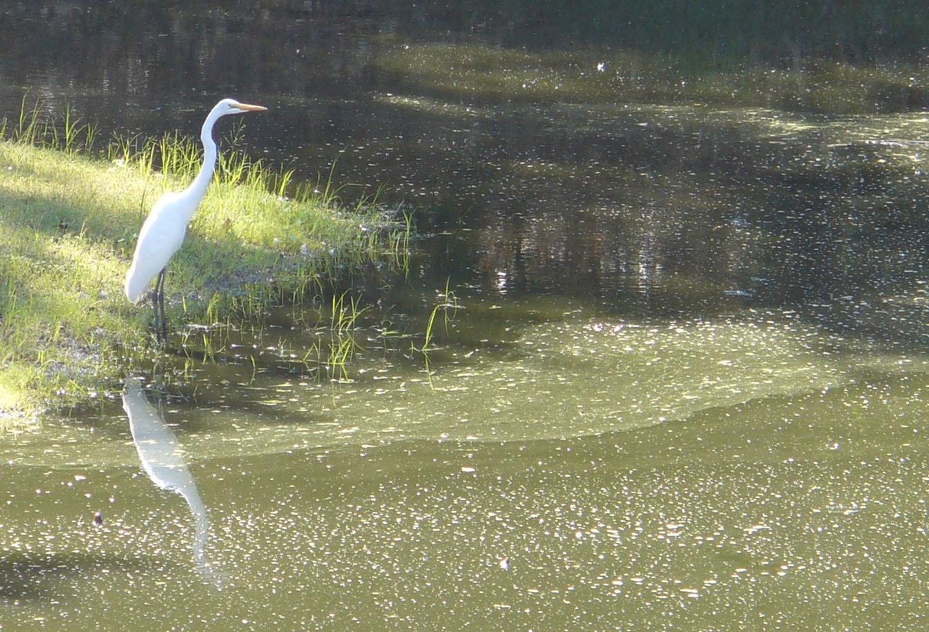 egret-20190921-33-folsom-pond