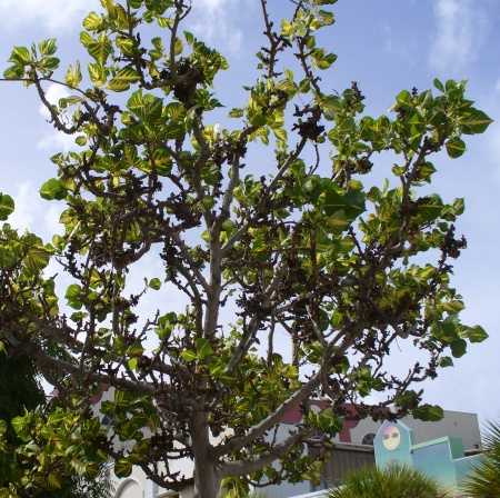 freewinds-trip-20190817-32-aruba-tree