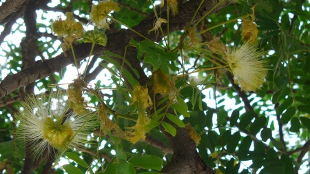 freewinds-trip-20190817-37-aruba-acacia-flowers