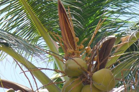 freewinds-trip-20190817-69-aruba-coconuts