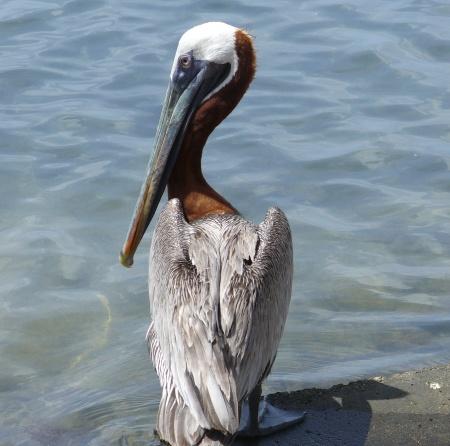 freewinds-trip-20190817-93-aruba-pelican