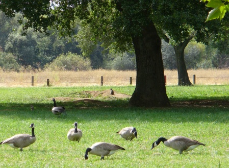 geese-and-ground-squirrel-ARP-20190928-071