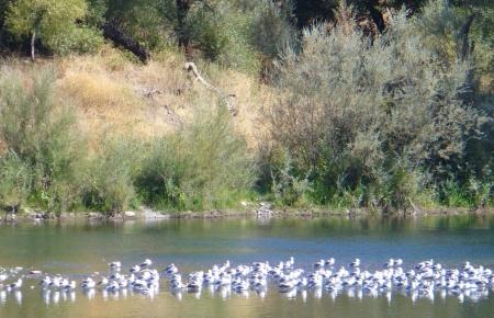 gulls-on-american-river-20190921-40