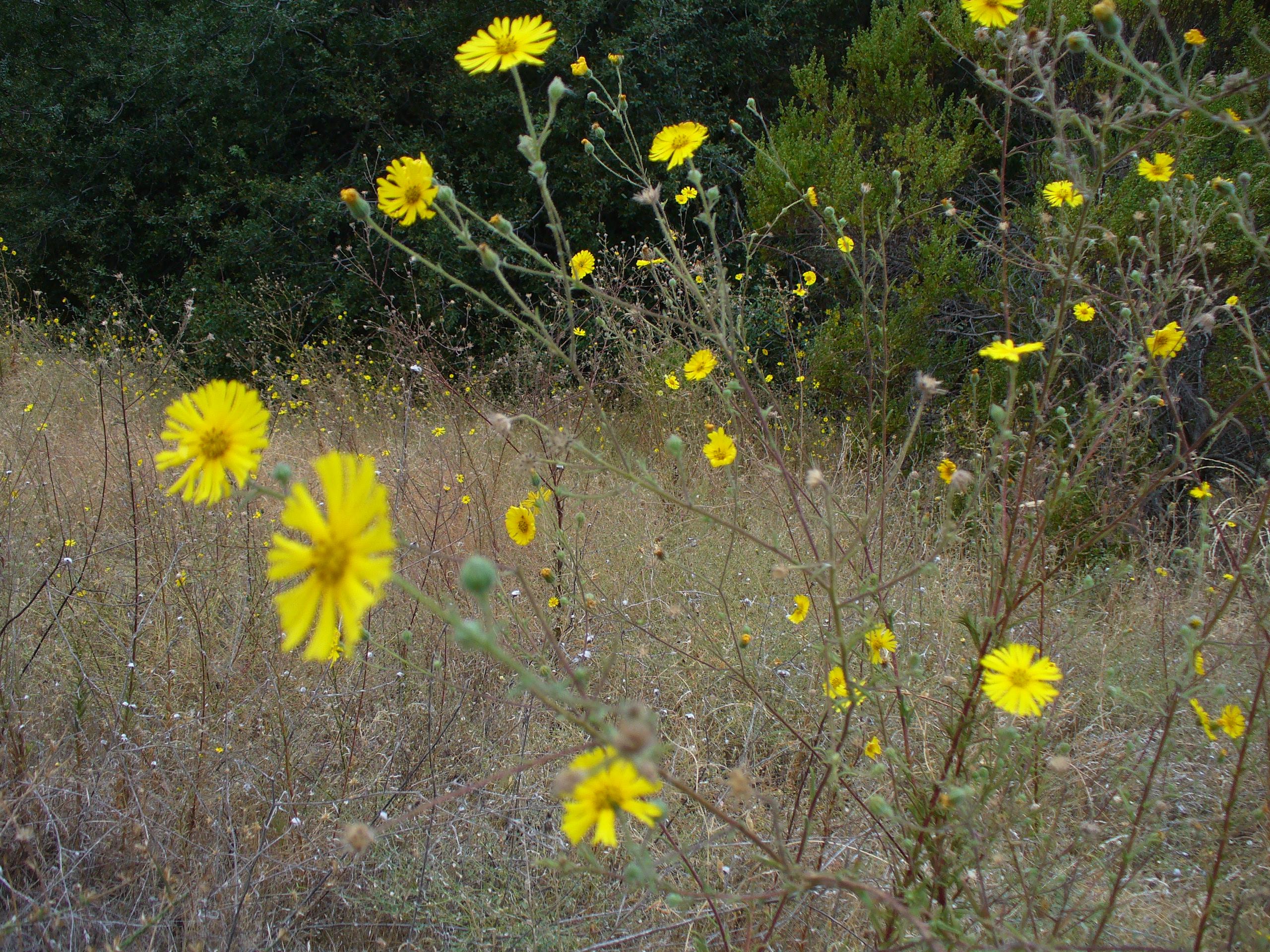 yellow-flower-ARP-20190928-061