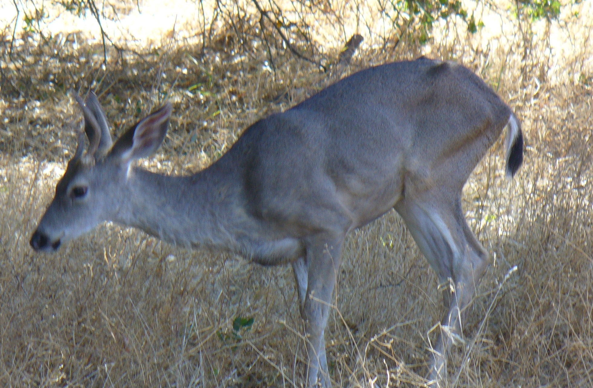 deer-buck-ARP-20191005-54