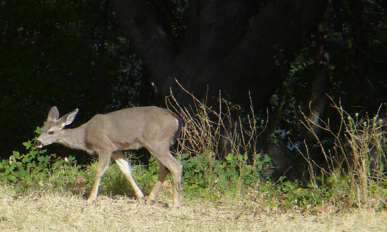 deer-near-sac_state-20191019-15