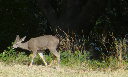 deer-near-sac_state-20191019-15