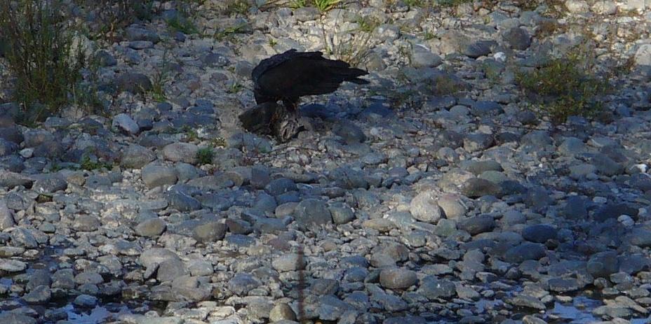 ARP-scenes-20191123-49-vulture-with-fish