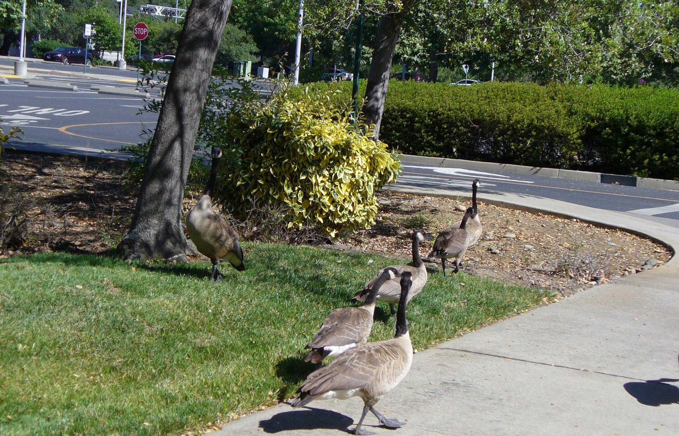 geese-by-street-folsom-20190713-75