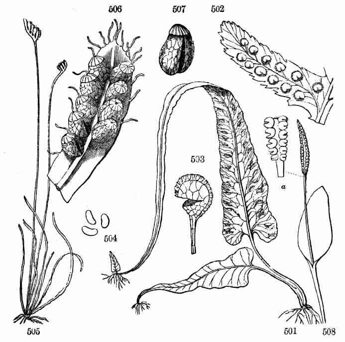 Asa Gray's fern illustrations