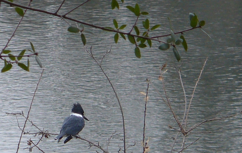 kingfisher on american river