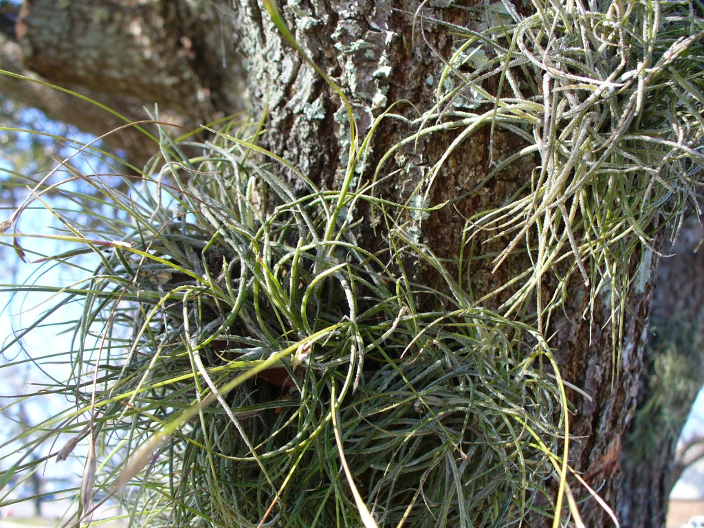 Spanish Moss, Florida