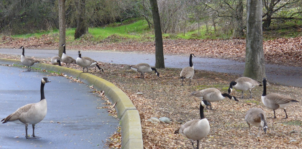geese at the Aquatic Center