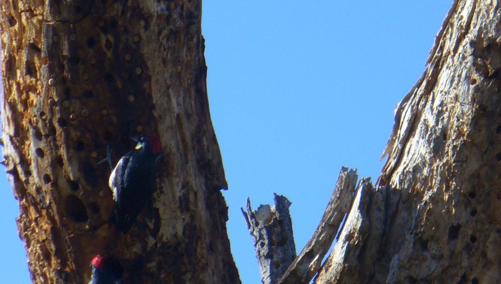 woodpecker on a dead tree
