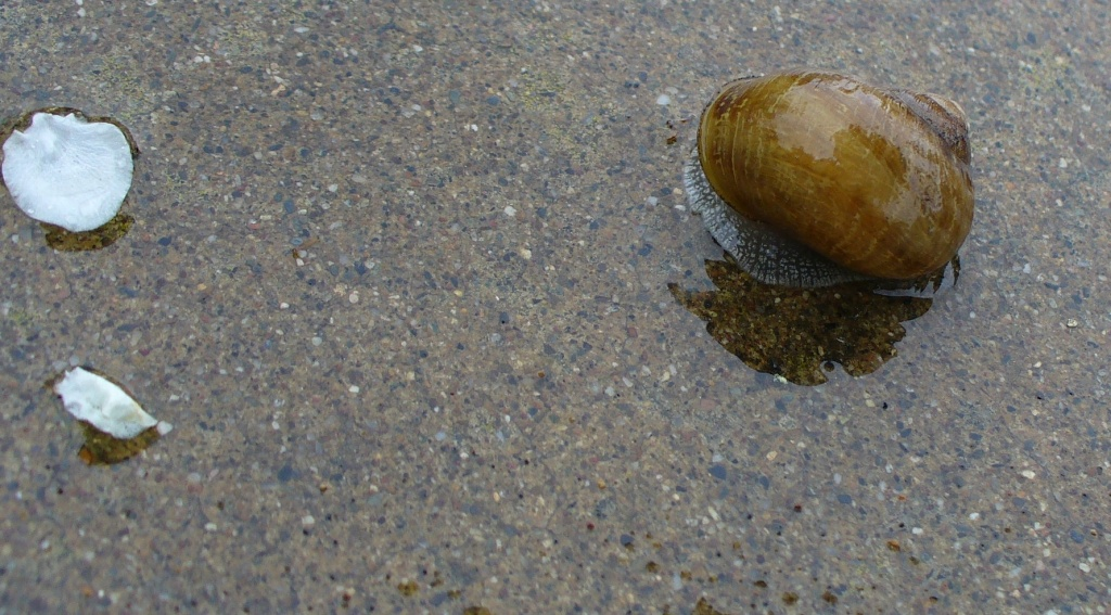 snail on sidewalk with flower petals