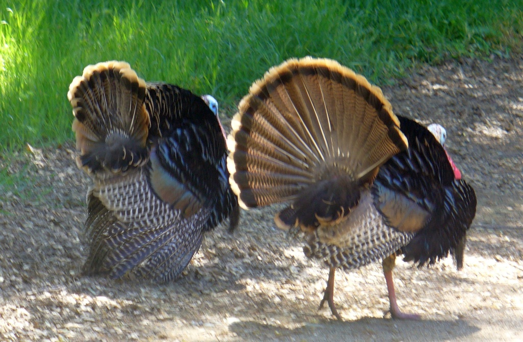 male turkeys chasing a hen