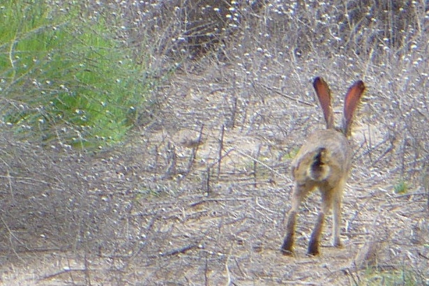 jackrabbit running away