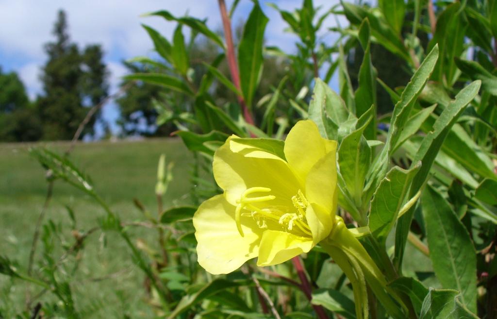 sundrops flower