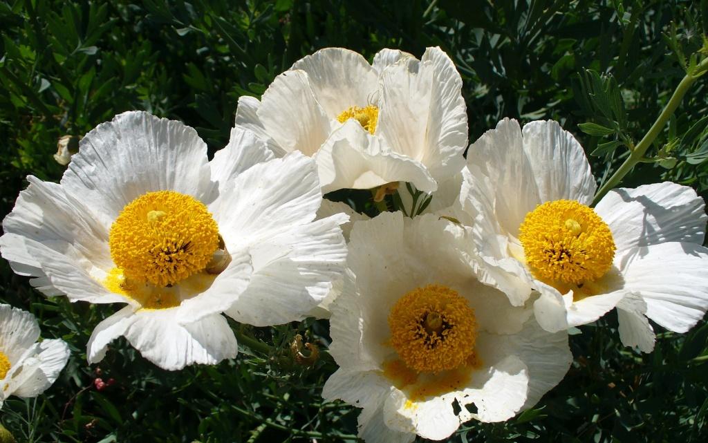 tree poppy flowers