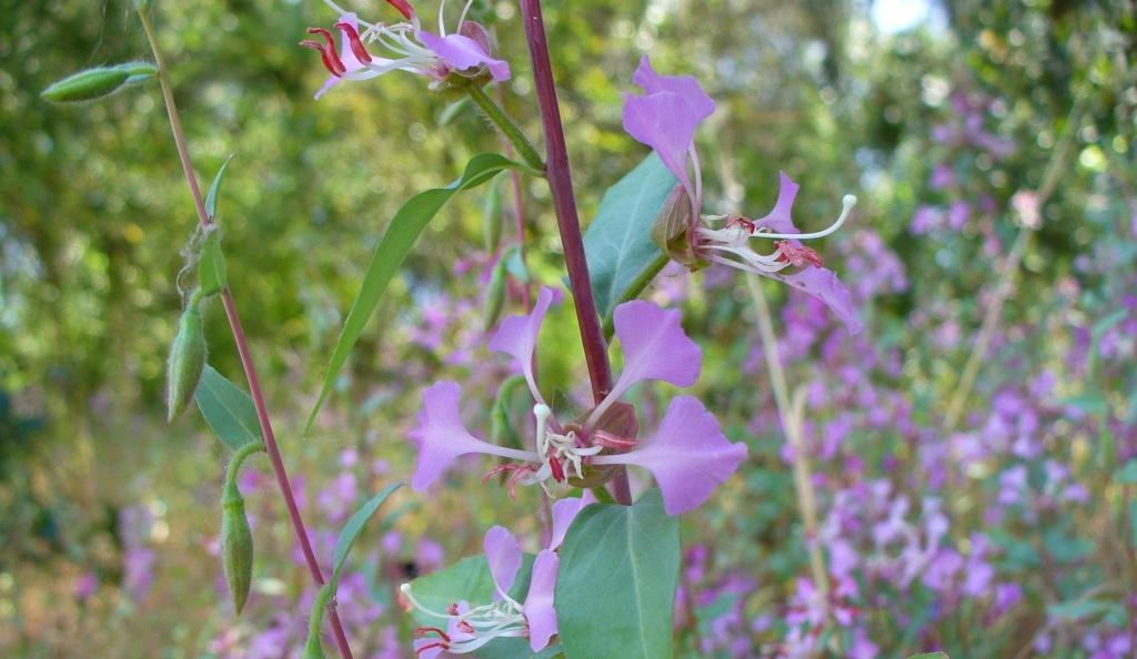 clarkia flowers