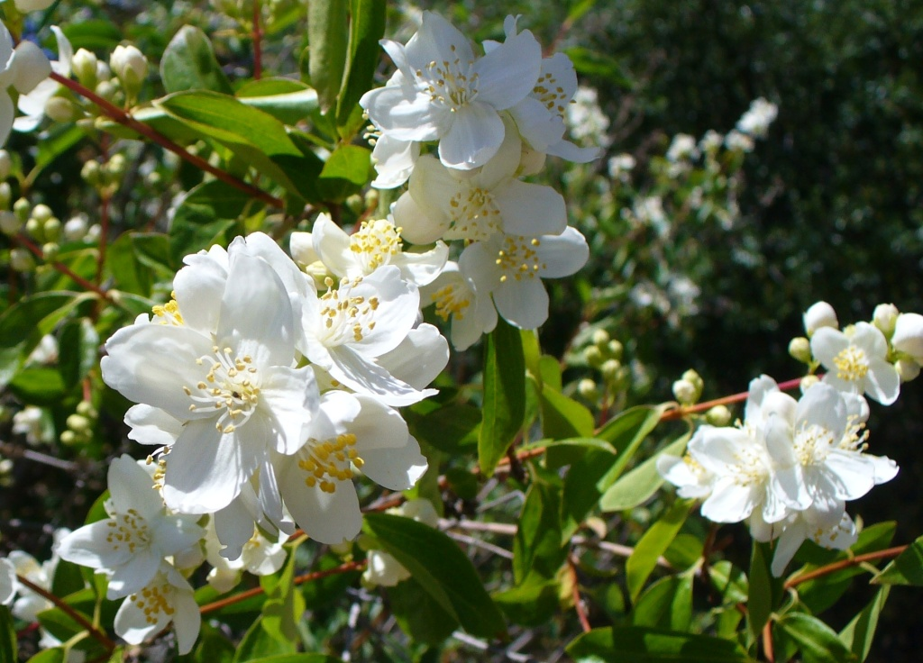 mock orange bush in flower