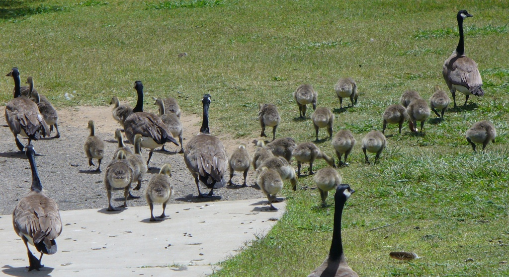 Geese with many goslings