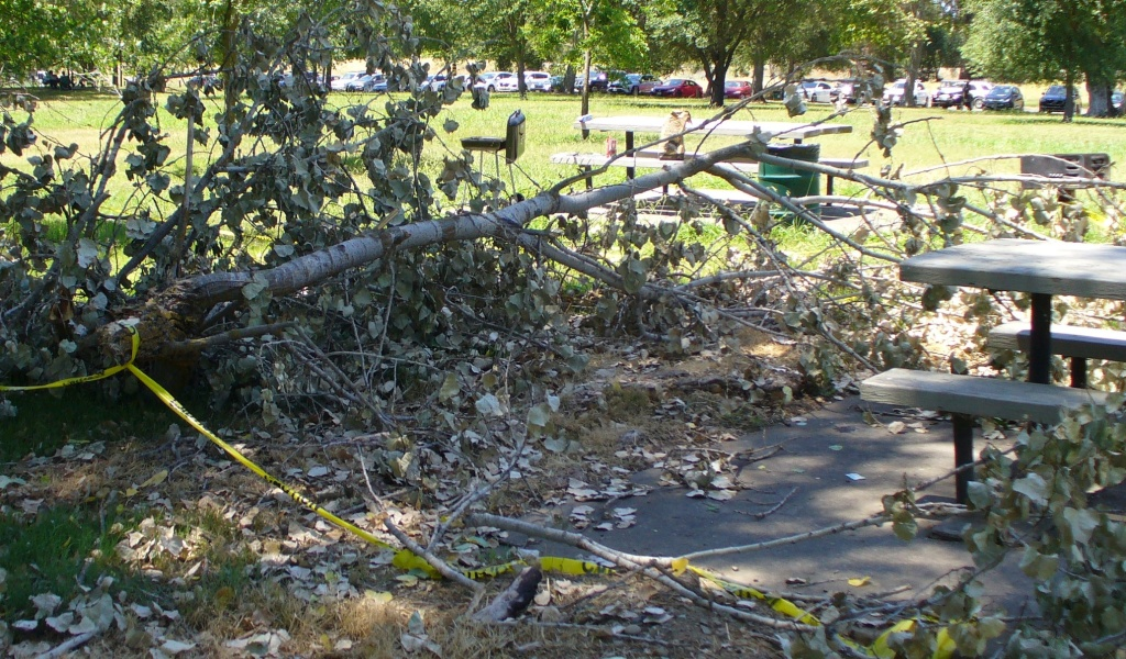 fallen cottonwood branch