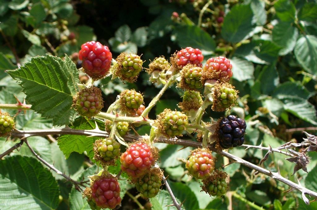 Folsom blackberries