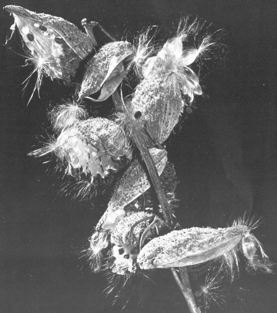 milkweed pods bursting open